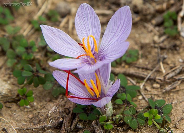 Шафран Картрайта (Crocus cartwrightianus)