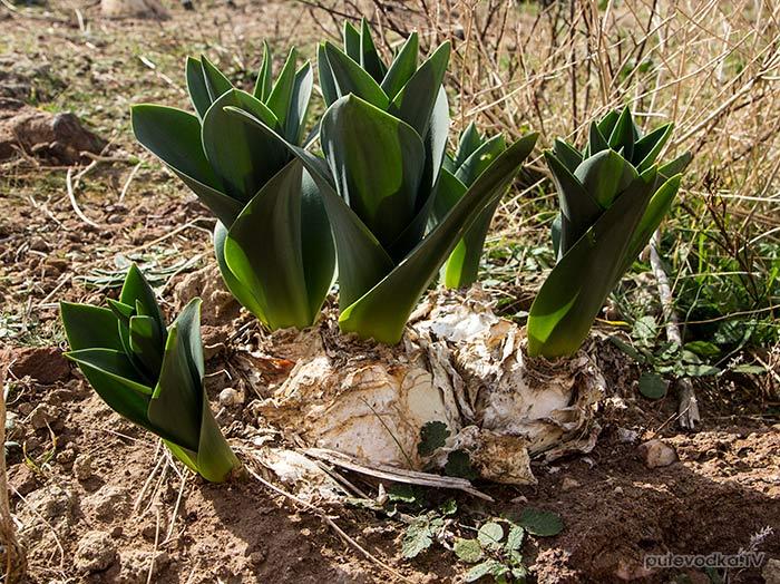 Дримия нумидийская (Drimia numidica)