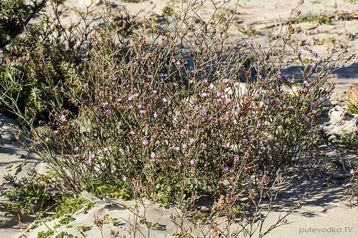 Кермек прутовидный (Limonium virgatum)