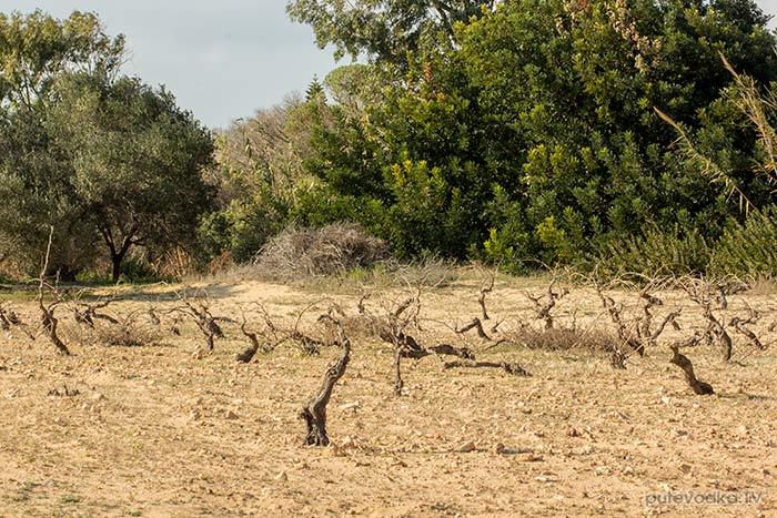 Виноградник за дюнами