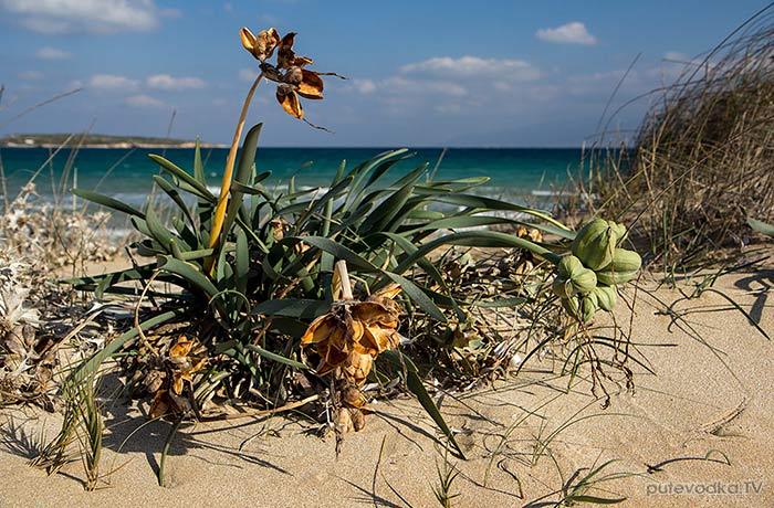 Панкраций морской (Pancratium maritimum)
