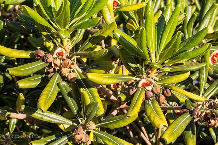 Смолосемянник обыкновенный (Pittosporum tobira)
