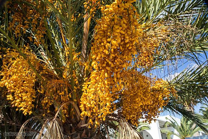 Финик канарский (Phoenix canariensis)
