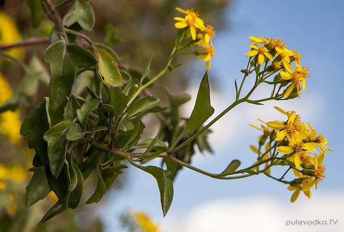 Крестовник угловатый (Senecio angulatus)