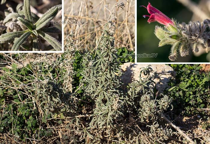 Синяк узколистный (Echium angustifolium)