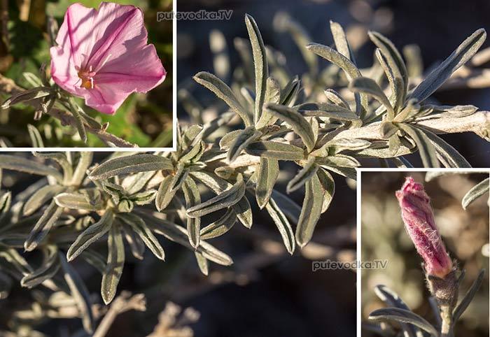 Вьюнок (Convolvulus dorycnium)