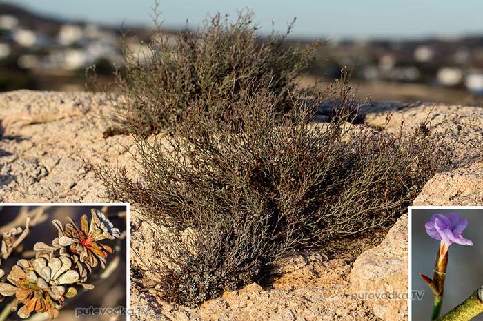 Кермек (Limonium roridum)