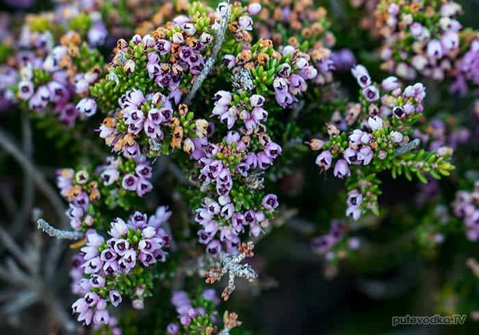 Эрика пучкоцветная (Erica manipuliflora)