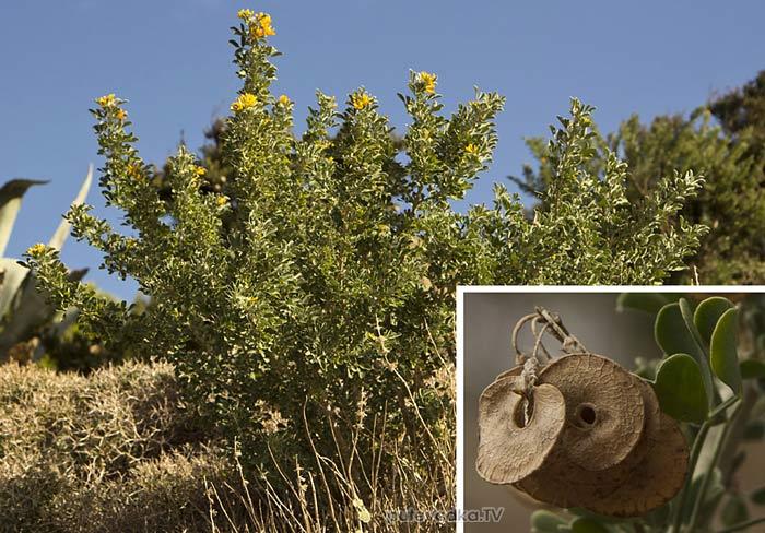Люцерна древовидная (Medicago arborea)