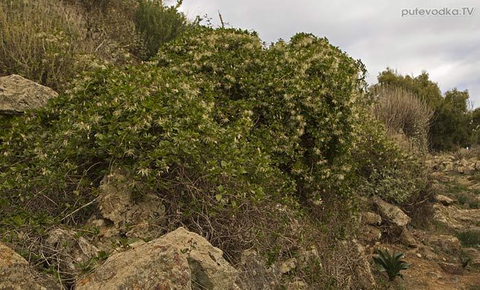 Ломонос усатый (Clematis cirrhosa)