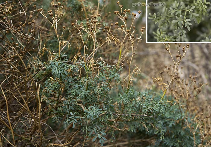Рута зимняя (Ruta chalepensis)