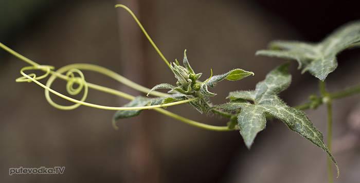 Переступень критский (Bryonia cretica)