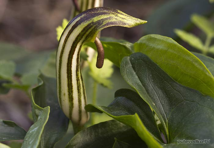 Аризарум обыкновенный (Arisarum vulgare)