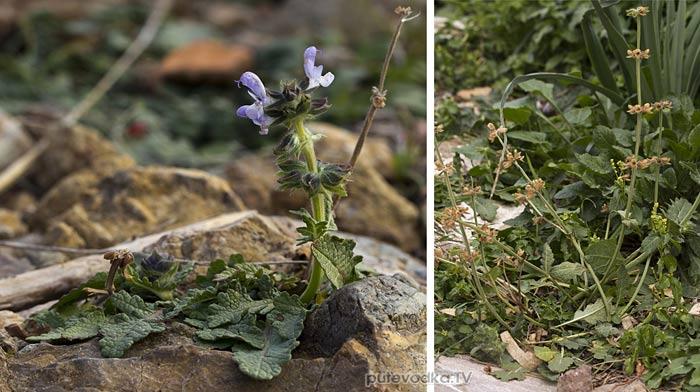 Шалфей вербеновый (Salvia verbenaca)