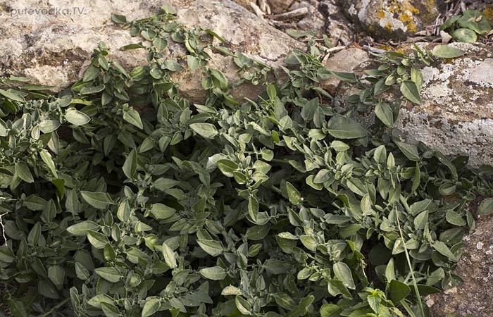 Centaurea raphanina ssp. mixta