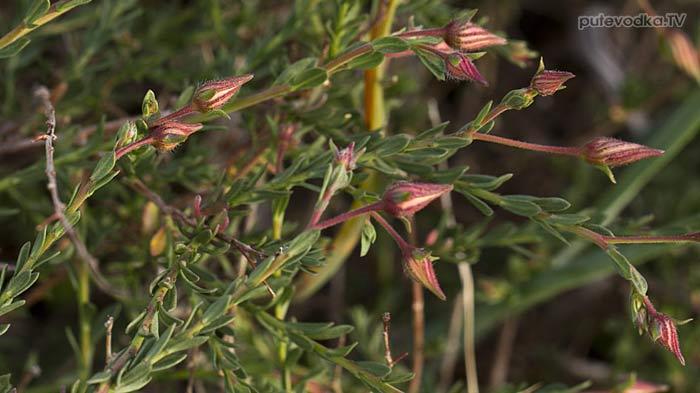 Фумана арабская (Fumana arabica)
