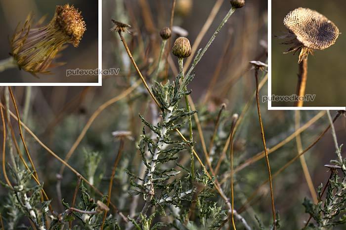 Фагналон скальный греческий (Phagnalon rupestre ssp. graecum)