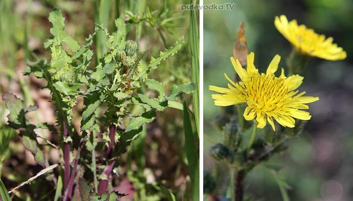 Осот огородный (Sonchus oleraceus)