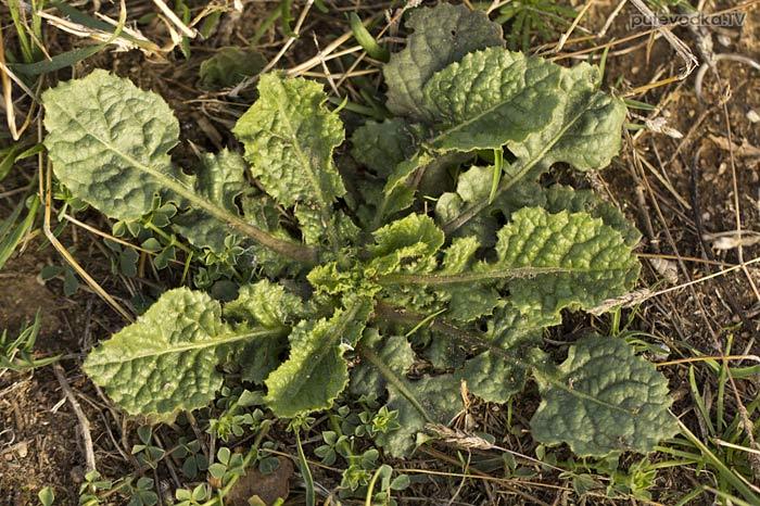 Растение семейства Капустные (Brassicaceae)