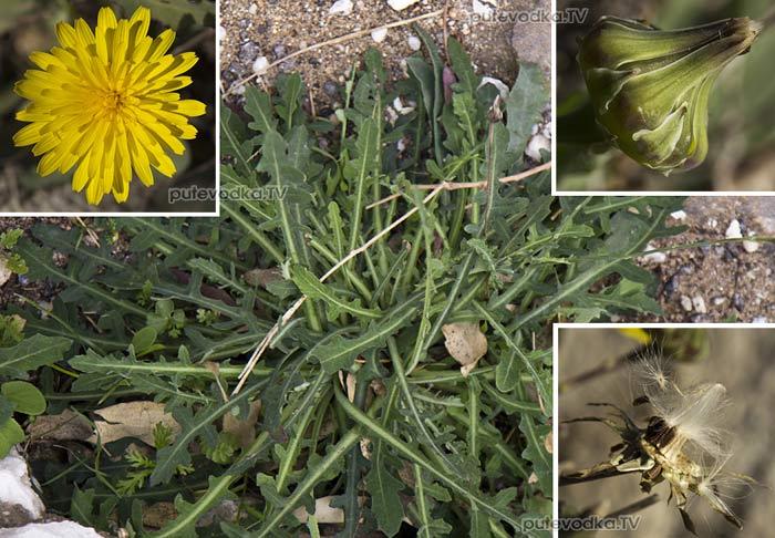 Рейхардия горлюховидная (Reichardia picroides)