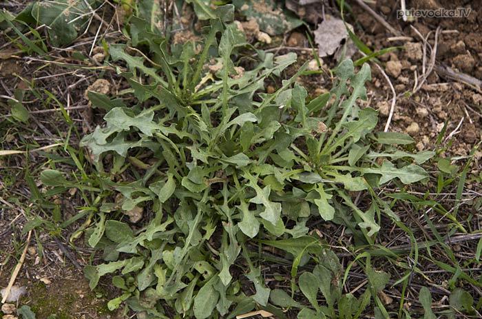 Растение рода Одуванчик (Taraxacum)
