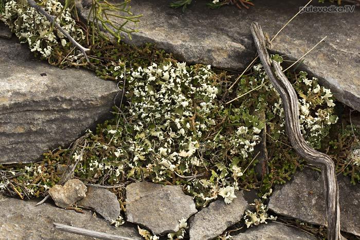 Лишайник (Lichenes)