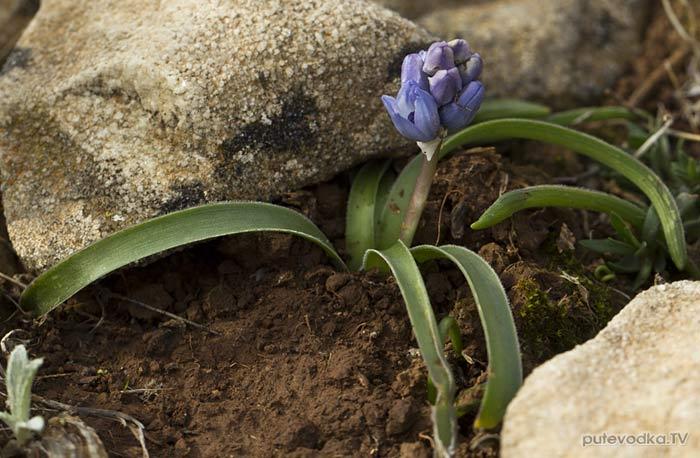 Бельвалия гиацинтовидная (Bellevalia hyacinthoides)