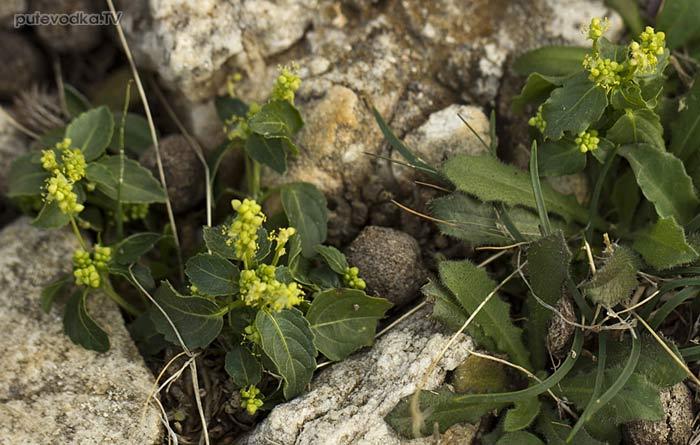 Пролесник однолетний (Mercurialis annua)