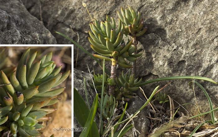 Очиток очитковидный (Sedum sediforme)