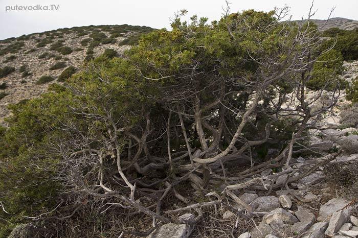 Можжевельник красноплодный (Juniperus phoenicea)