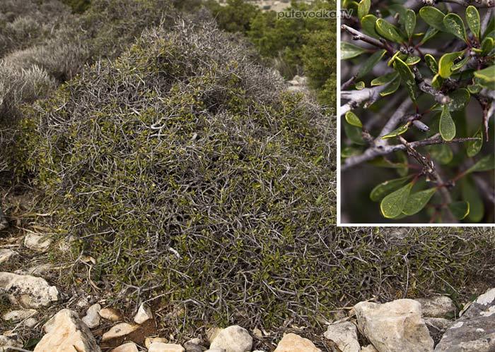 Жостер (Rhamnus lycioides ssp. oleoides)