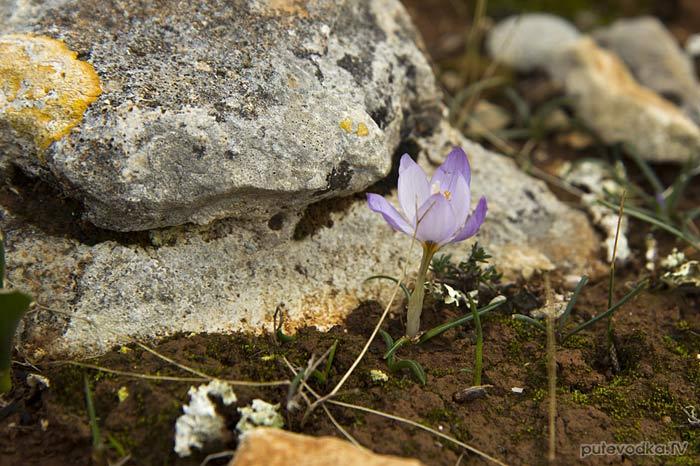 Шафран сглаженный (Crocus laevigatus)