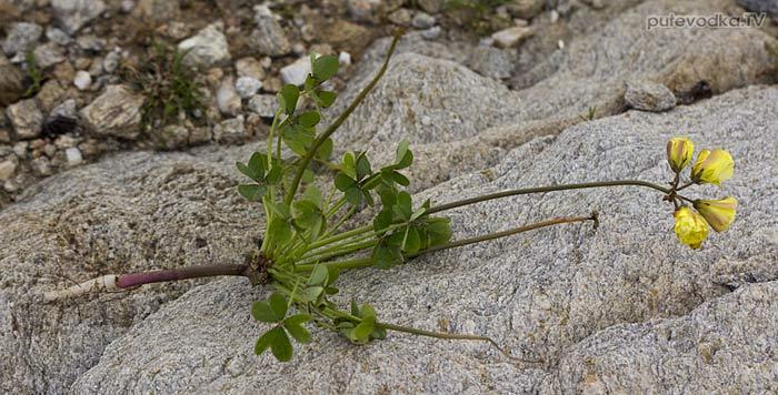 Кислица козья (Oxalis pes-caprae)