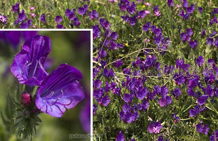 Синяк подорожниковый (Echium plantagineum)