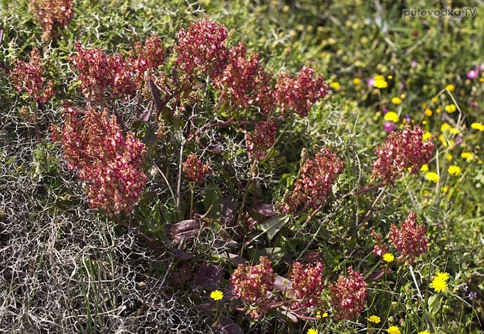 Щавель клубненосный (Rumex tuberosus ssp. creticus)