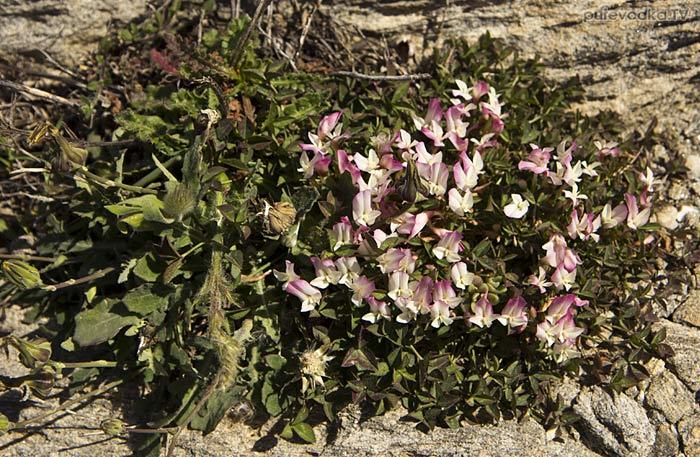 Клевер одноцветковый (Trifolium uniflorum)
