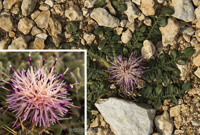 Василёк (Centaurea raphanina ssp. mixta)