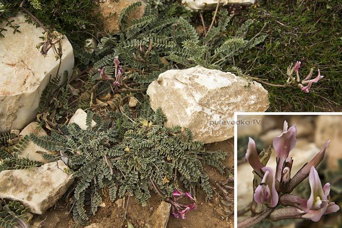 Астрагал (Astragalus spruneri)