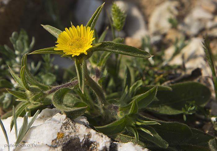Палленис колючий (Pallenis spinosa)