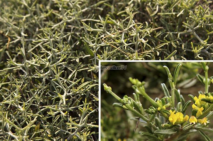 Язвенник германниевый (Anthyllis hermanniae)