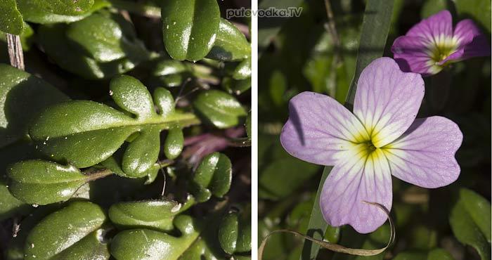 Малкольмия извилистая (Malcolmia flexuosa)