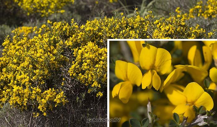 Каликотома мохнатая (Calicotome villosa)