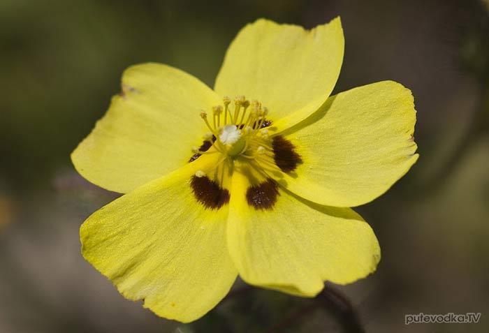 Туберария крапчатая (Tuberaria guttata)