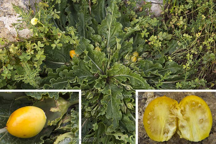 Мандрагора осенняя (Mandragora autumnalis)