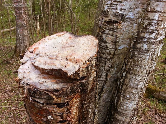 Плесневый гриб на месте спила березы