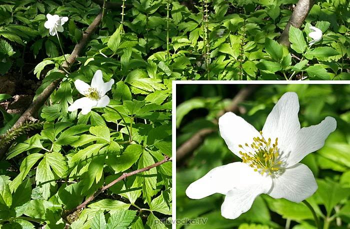 Ветреница дубравная (Anemone nemorosa)