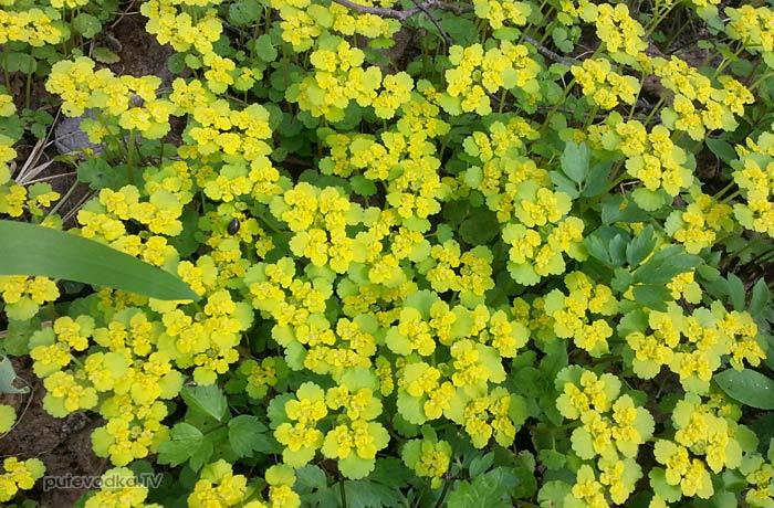 Селезёночник очерёднолистный (Chrysosplenium alternifolium)