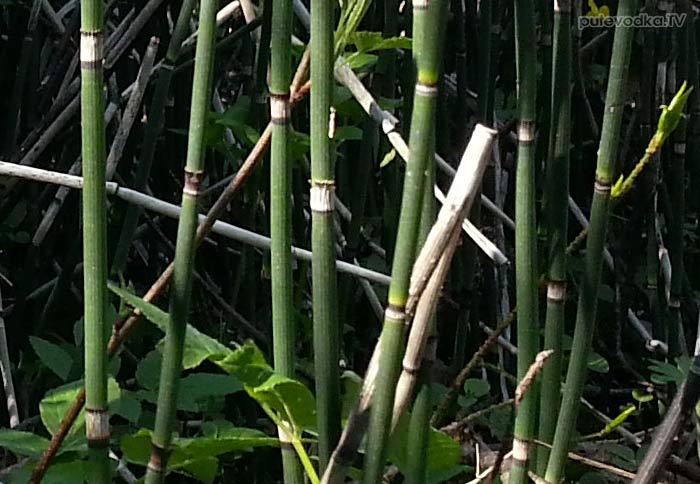 Хвощ зимующий (Equisetum hyemale)