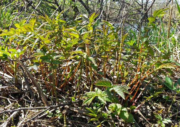 Таволга вязолистная (Filipendula ulmaria)