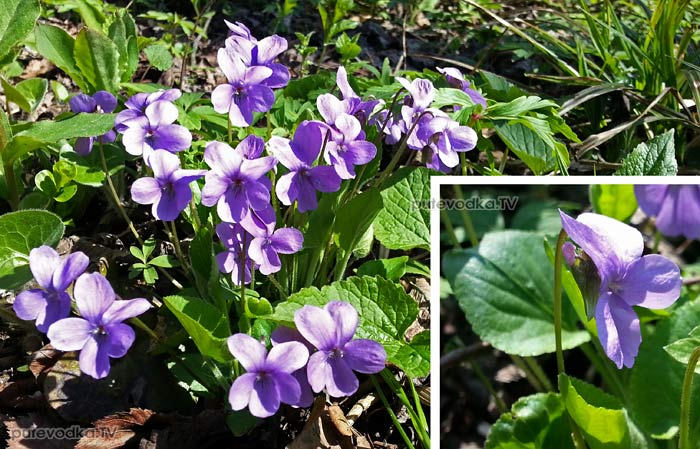 Фиалка опушённая (Viola hirta)